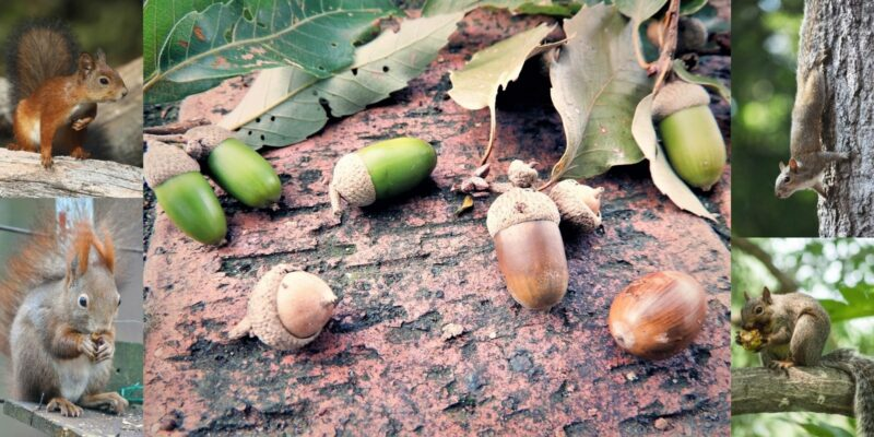 Blog post header image showing acorns and 4 different squirrels eating or looking for acorns.